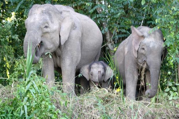 Pygmy Elephants, Kinabatangang River, Borneo, Malaysia