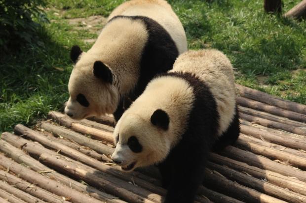 Pandas, Chengdu